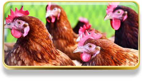 ¿Qué significa soñar con gallinas?