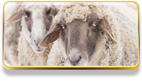 Que significa soñar con ovejas