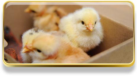 Que significa soñar con pollos
