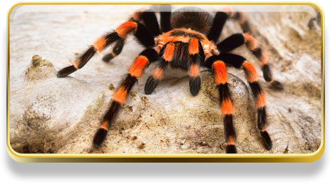 Que significa soñar con tarantulas