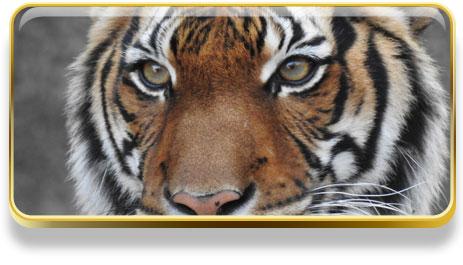 Que significa soñar con tigres