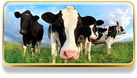 ¿Qué significa soñar con vacas?